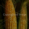 Corn Color_-1