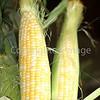 Corn Color_-7