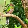 Resplendant Quetzal (Female)