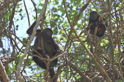 Howler monkeys on the way to the beach