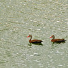 black belly whistling duck