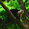 white faced (capuchin) monkey