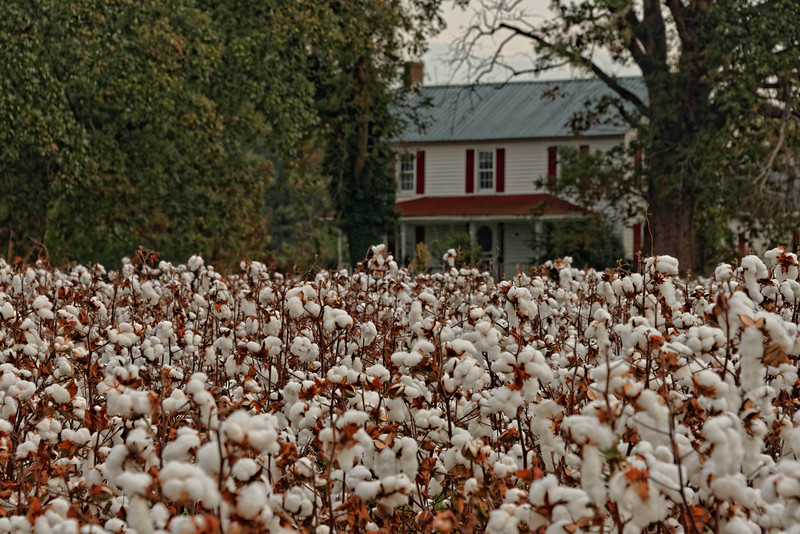 House and Cotton Field on Mavaton Road, Chowan County