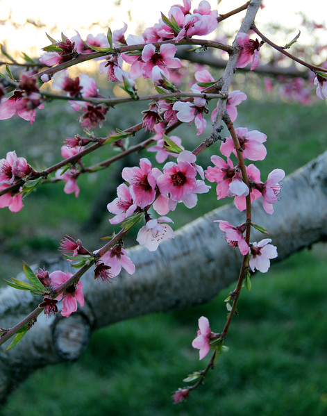 Sunset Blossoms (peach)