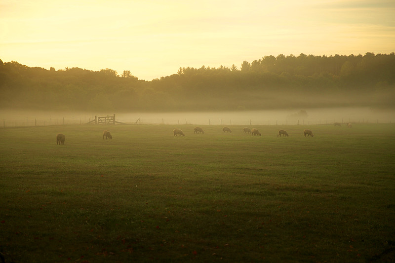 Sheep on Foggy Morning