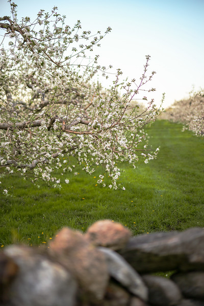 Apple Trees in Spring