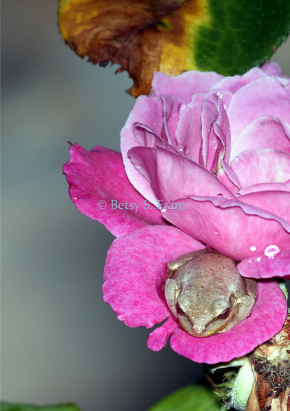 Tiny frog in a rose blossom