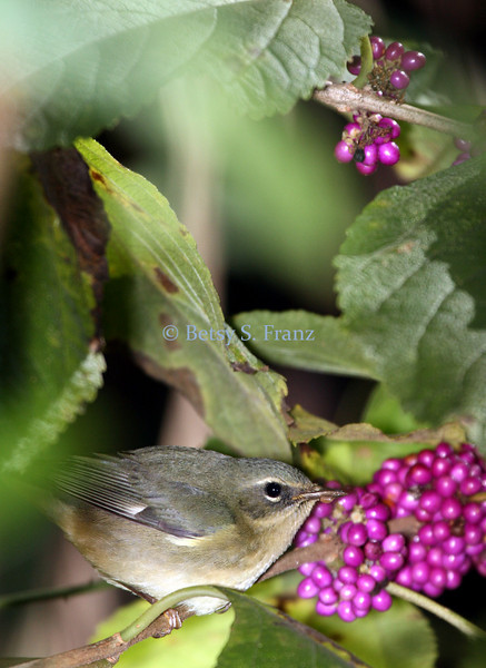 Female black-throated-blue warbler eating beautyberry