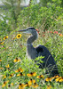 Great blue heron in Florida native wildflowers