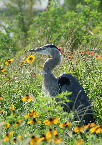 Great blue heron in Florida native wildflowers
