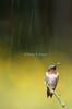 Ruby throated hummingbird in the rain