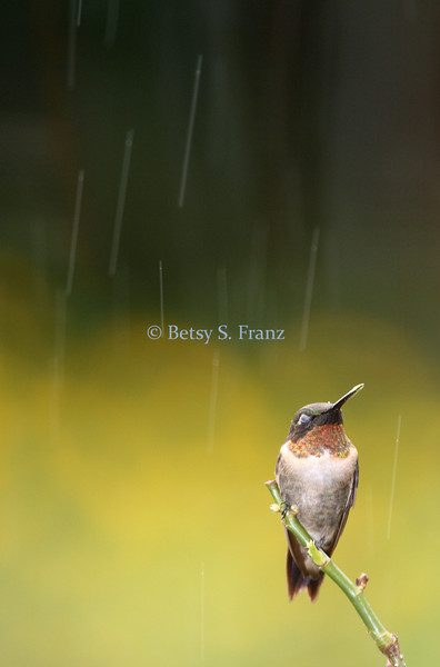 Ruby throated hummingbird in the rain