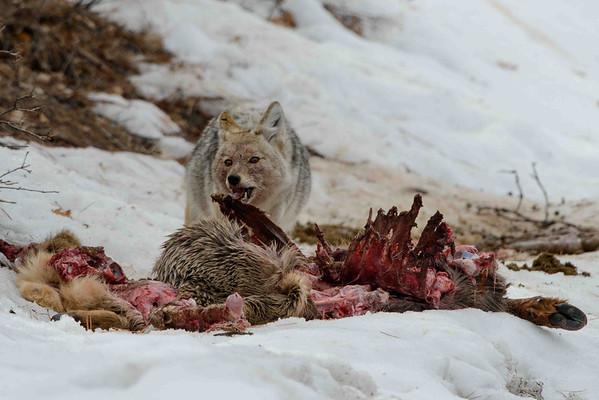 Coyote on Kill