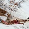Coyote on Fresh Kill