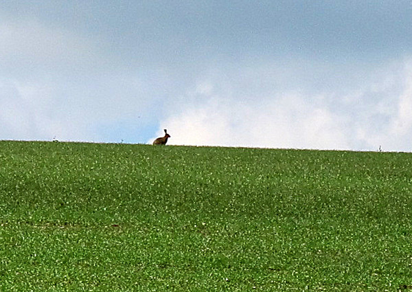 A hare appears oblivious to my presence.