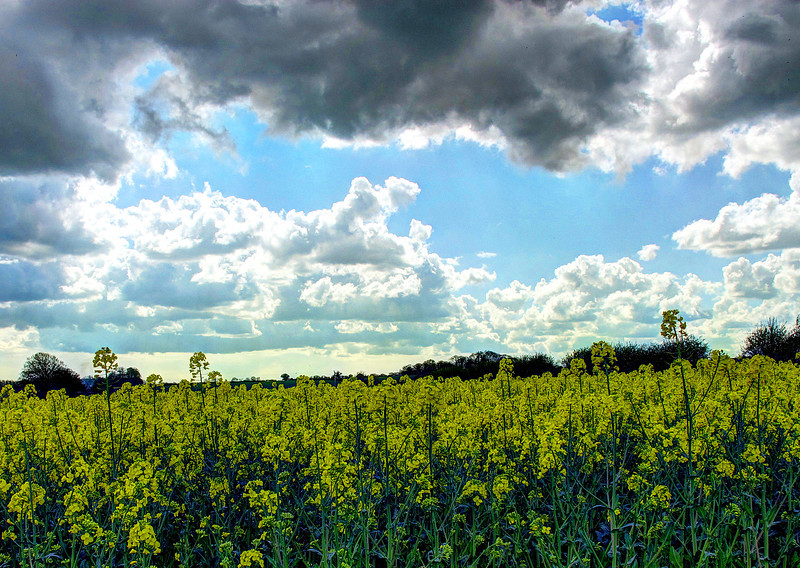 Lots of oil seed rape fields come into flower at this time of year.