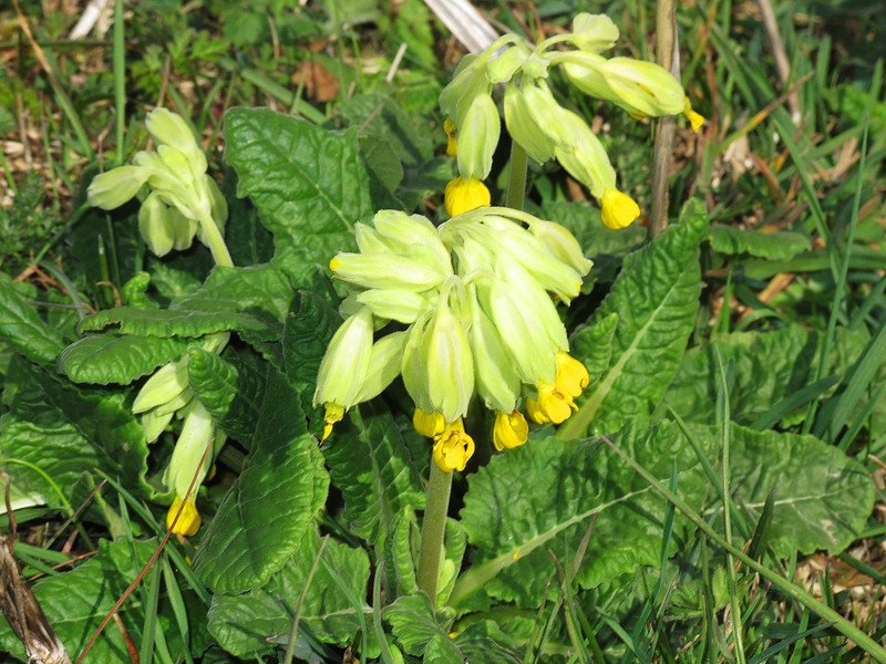 Cowslips nodding in the mid-day sunshine.