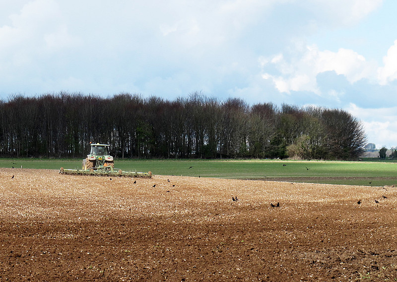 Crows pick up tit-bits following the harrow.
