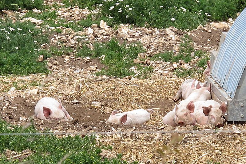 Piglets doze on a warm afternoon.