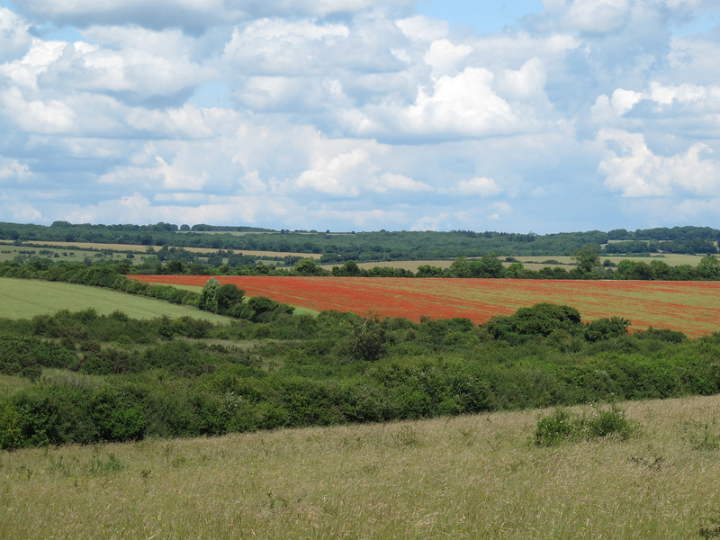 Poppies growing in corn fields at Martin Down.