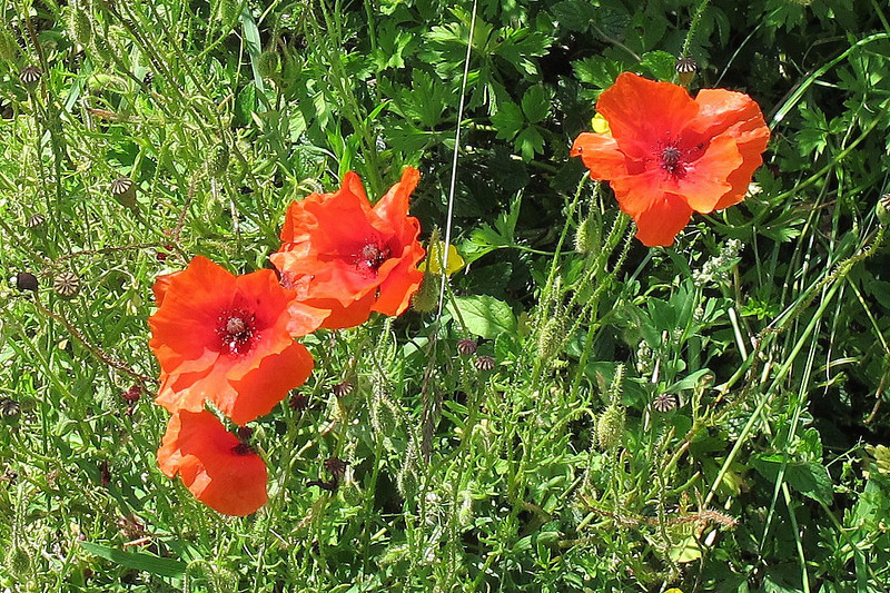 Poppies bloom in the hedgerows.