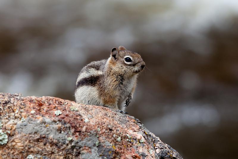 Chipmunk at the Fall River, Estes Park, Colorado