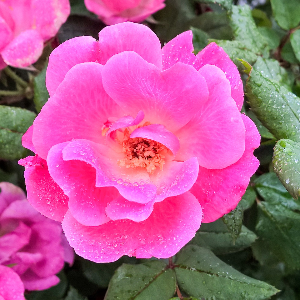 Rose covered with dew - Faith Lutheran Church, Georgetown, Texas