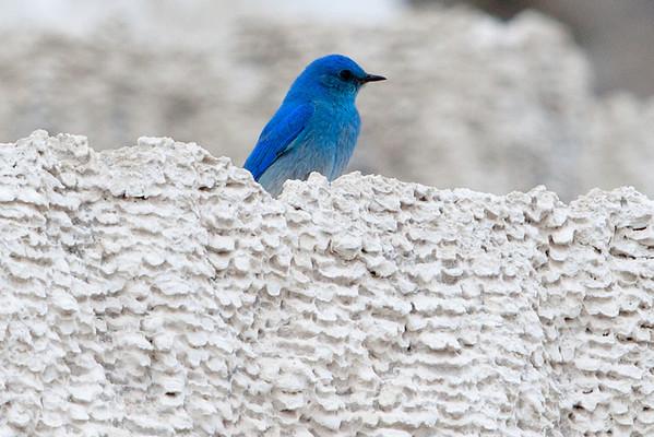 Mountain Bluebird on Travertine Terrace, Mammoth Hot Springs, Yellowstone National Park, Wyoming