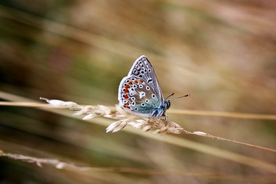 Common Blue butterfly, wings closed