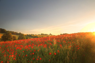 Poppies in the setting sun