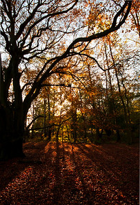 Autumn sun at Ashridge Estate