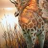 Sea Giraffe