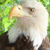 Eagle at Busch Gardens
