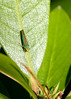 """Rhododendron leafhopper (Graphocephala fennahi) - rhododendron cicade - an example of an exotic species that has done really well in its new environment. This leafhopper arrived in Europe in the 1930's and has established itself where ever rhodo's are found. More info on this little bug at this site<br />  <a href=""""http://www.gardensafari.net/dutch/picpages/graphocephala_fennahi.htm"""">http://www.gardensafari.net/dutch/picpages/graphocephala_fennahi.htm</a>"""
