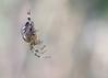 European garden spider (Araneus diadematus) - kruisspin - female.