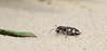 Tiger Beetle (Cicindela hybrida) - bastaard zandloopkever - with prey - Westhoekreservaat in De Panne (Belgium)