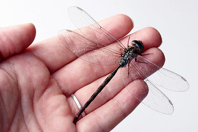 Dragon Fly Hand  A darter dragonfly on my hand.