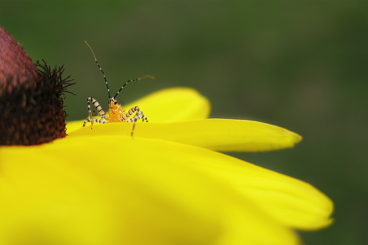 OddBug 0651  An Assassin Bug on a Black Eyed Susan.