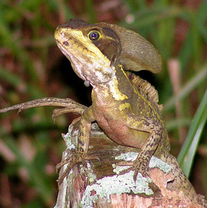 A Brazilian Lizard