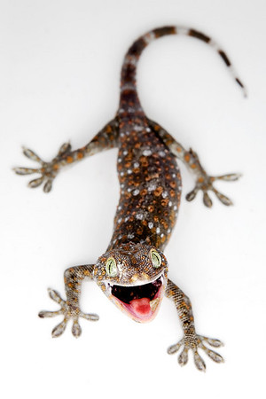 Tokay lizard in our house in Chiang Mai, Thailand.