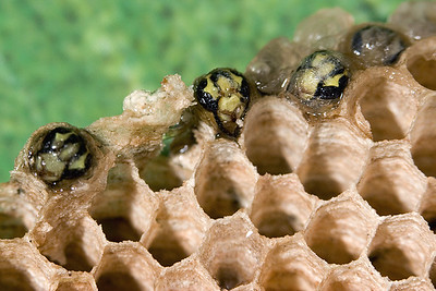 Wasps 03  Very young wasps emerging from their nest.