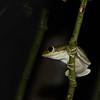 wary tree frog-1