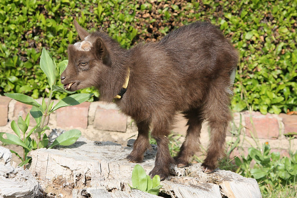 Jane's goat
