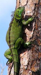 Lizard Babe