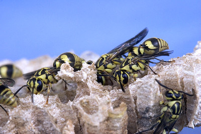 Wasps 04  Young Wasps on their nest.