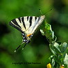 the scarce swallowtail (or sail swallowtail) resting on a leaf