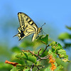 The swallowtail butterfly. This is a south european specimen