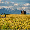 """Barn and Wheat Field"" near Polson, Montana."