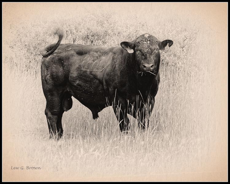 """""""Montana Bull"""""""