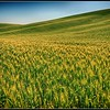 Rolling Wheat Field - Palouse